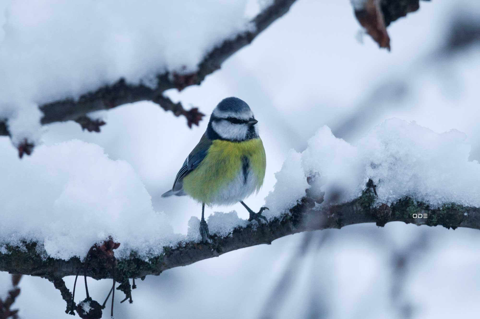 Mésange bleue et neige