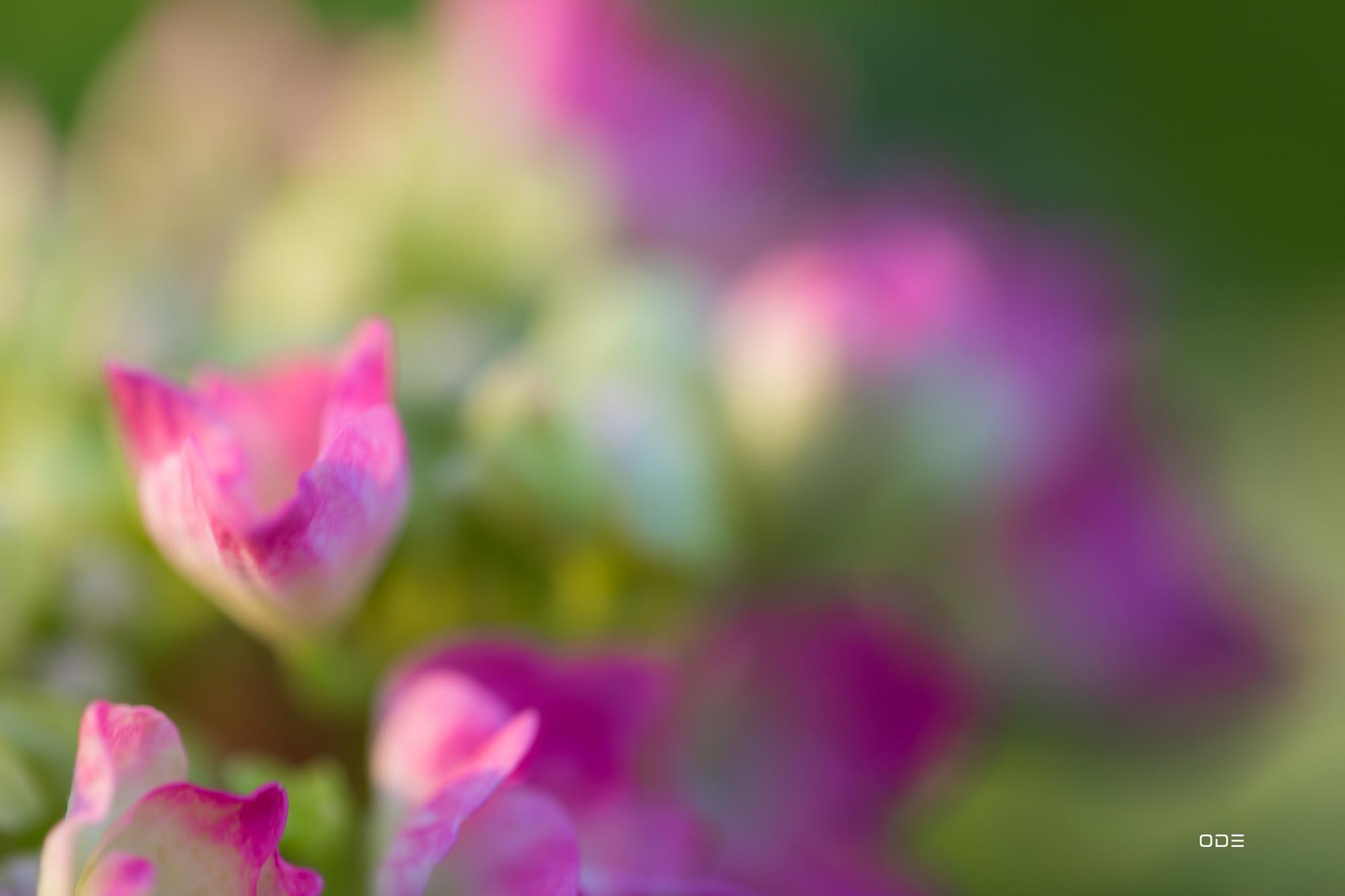 Fleurs d'hortensias en approche