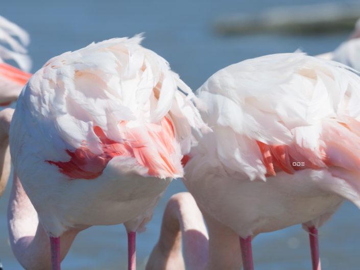 Les flamants roses et leurs plumes