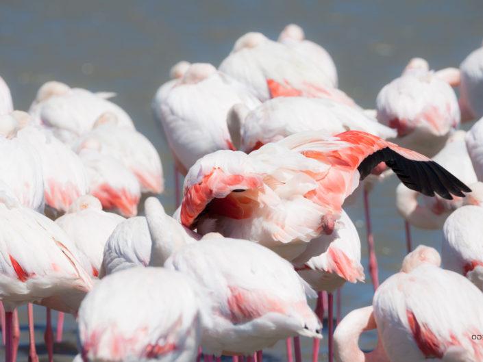 Les plumes des flamants roses de Camargue